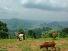A young girl watches over her family's cows; Lake Bunyonyi