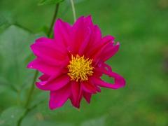 A pretty pink flower brightens up the gardens of Bunyonyi Overland Resort