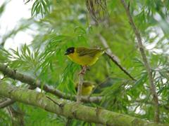 This bright yellow bird chirped up a storm; Lake Bunyonyi