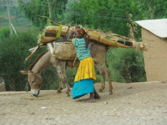 A girl works beside her donkey in quaint Harar
