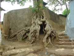 Harar footpaths are designed around this tree