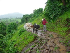 "Becky shrugs when the cows have ""right of way"" on the footpath leading to the Blue Nile Falls"