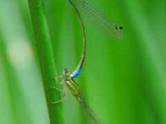 Image of two mating dragonflies; Lalibela