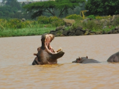 A hippo gives us a menacing warning that we are encroaching upon its territory with a gaping jaw; Lake Tana