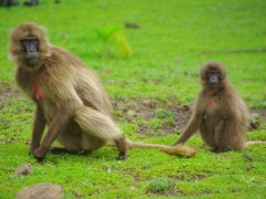 A mother and baby gelada monkey stares off in our direction; Simien Mountains