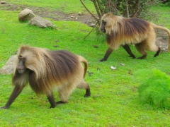 The gelada monkey is characterized by its hairless face that is shorter and higher than that of baboons, with a face like a chimpanzee. All gelada monkeys have an hourglass shaped bright red patch on their chest