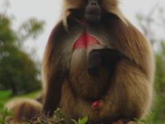 Portrait of a gelada monkey; Simien Mountains