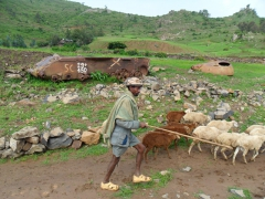 A herder guides his flock of sheep past an abandoned tank; Ethiopian countryside