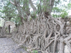 A picturesque sight, the intertwined roots of several trees at Gondar's Bath of Fasilidas