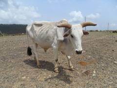 A bull stands his ground; Axum