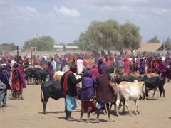 A lively Maasai cattle market