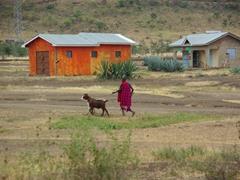A Maasai walks his goats to greener pastures