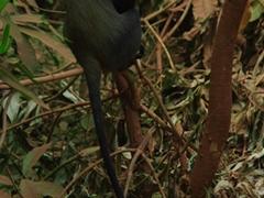 A blue monkey checks us out; Lake Manyara