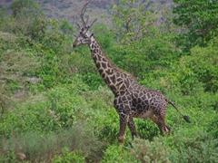 A giraffe strolls through the bush at Lake Manyara