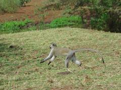 A blue-balled vervet monkey scurries across the field; Lake Manyara