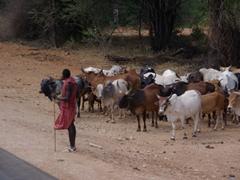 A Maasai herder keeps a close eye on his cows