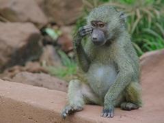 A baby baboon scratches its face; Lake Manyara