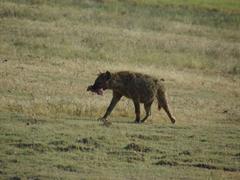 A scavenging hyena retreats with a bone; Ngorogoro Crater