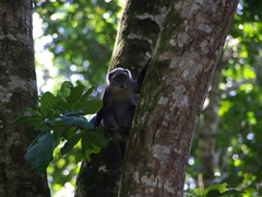 Profile of the elusive sykes monkey; Jozani Park on Zanzibar