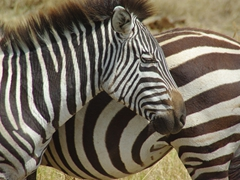 Portrait of a zebra; Ngorongoro Crater