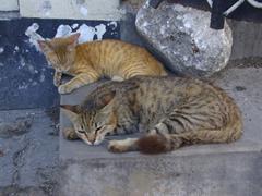 Satiated cats catch a snooze at the fish market; Zanzibar