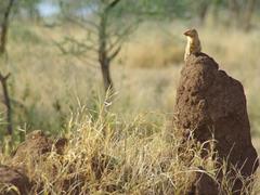 A mongoose atop a termite mound; Serengeti