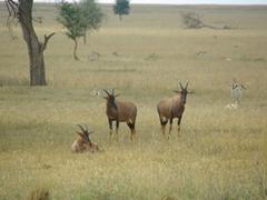 Hartebeest lounging around in the Serengeti