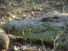 A massive crocodile checks us out; Arusha Snake Park