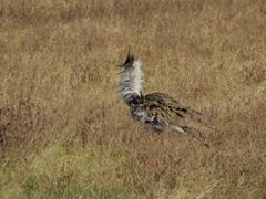 A Kori Bustard ruffles its feathers; Ngorongoro Crater