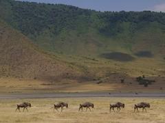 Wildebeest marching across the Ngorongoro Crater