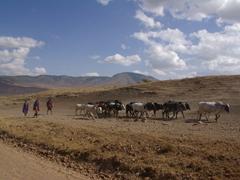 Maasai cattle herders