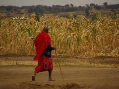 A Maasai farmer walks through his field of corn