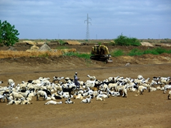 A herder keeps a close watch over his goats