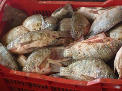 Close up of a basket of Nile Perch; Nubian Fisheries Factory in Wadi Halfa