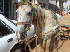 A horse patiently awaits the return of its master at the Omdurman Souq in Khartoum