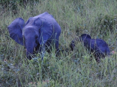 Just as dusk was approaching, we were rewarded with views of an elephant family, complete with a baby elephant; Reserve de la Lope