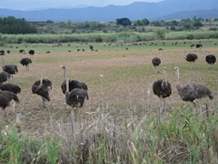 Ostriches galore in Oudtshoorn