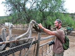 Robby plays with the friendly ostriches at Cango Ostrich Farm