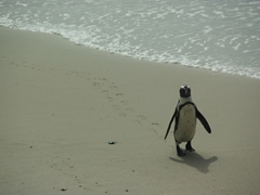A Jackass penguin saunters onto shore at Boulder Beach