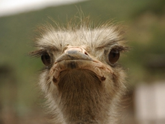 Profile of an ostrich; Cango Ostrich Farm