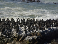 Cormorants gather by the ocean side on Robben Island