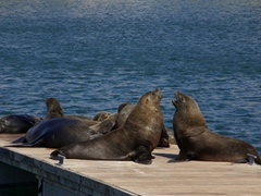Fur seals jostle for dominance on a jetty in Cape Town