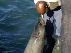 A local feeds sea lions by placing a fish between his mouth; Hout Bay