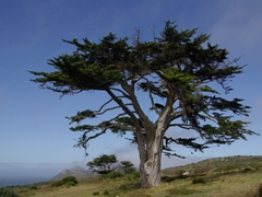 A massive tree dominates the landscape; Cape of Good Hope park