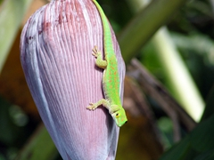 Close up of a gecko on the banana tree