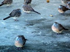 Beau Vallon's funny looking pigeons
