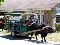 "The ""traditional"" ox-cart taxi ride; La Digue"