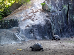 The giant tortoises sure can move (surprisingly!)