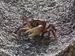 This giant crab looked like it has been cooked but boy could it move when it had to