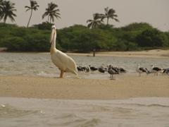 A pelican eyeballs us suspiciously; Langue de Barbarie National Park